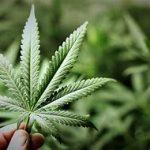 Referendum per la legalizzazione della cannabis: che cosa comporterebbe realmente?